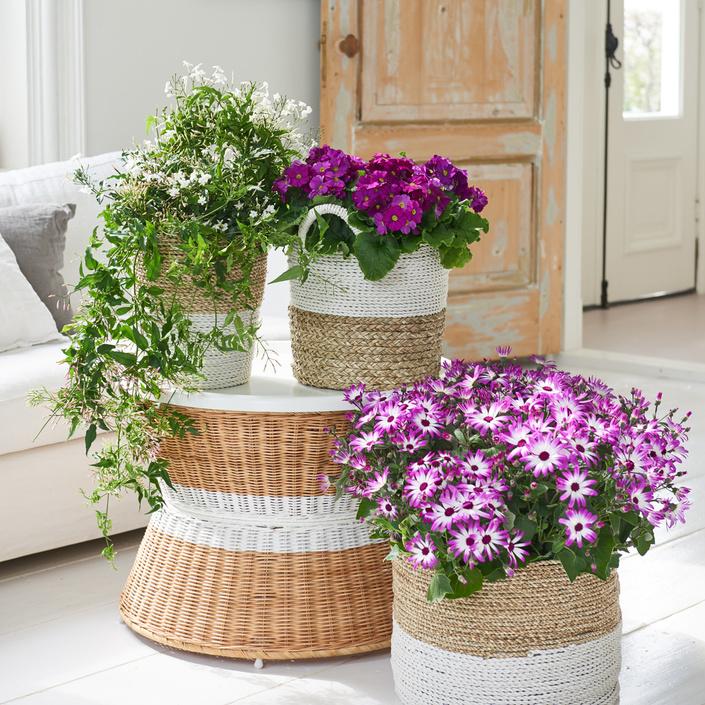 Plantas en flor, plantas de interior del mes de Febrero | Garden Amorós